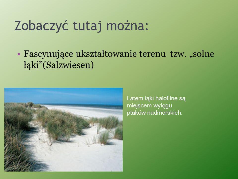Zobaczyć tutaj można: Fascynujące ukształtowanie terenu tzw. solne łąki(Salzwiesen) Latem łąki halofilne są miejscem wylęgu ptaków nadmorskich.