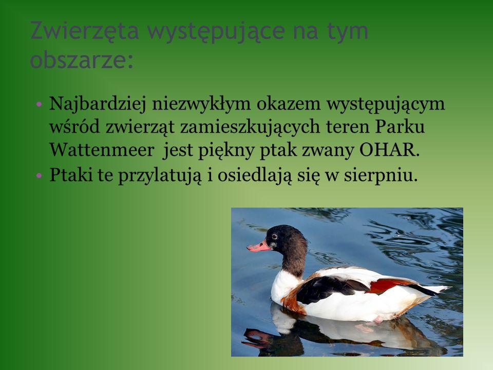 Zwierzęta występujące na tym obszarze: Najbardziej niezwykłym okazem występującym wśród zwierząt zamieszkujących teren Parku Wattenmeer jest piękny pt