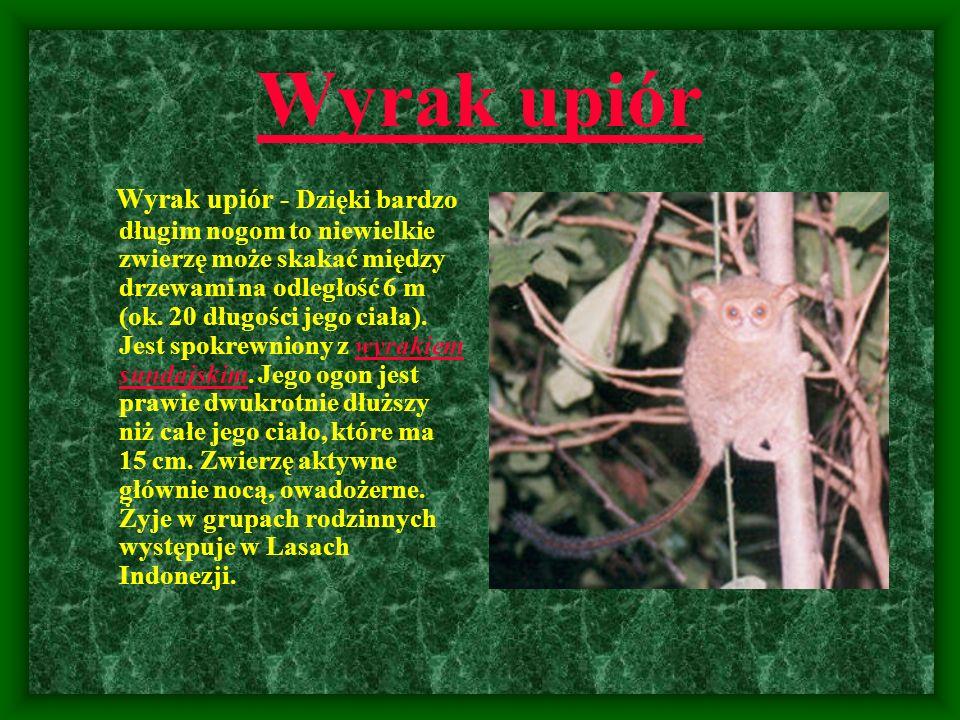 Wyrak upiór Wyrak upiór - Dzięki bardzo długim nogom to niewielkie zwierzę może skakać między drzewami na odległość 6 m (ok. 20 długości jego ciała).