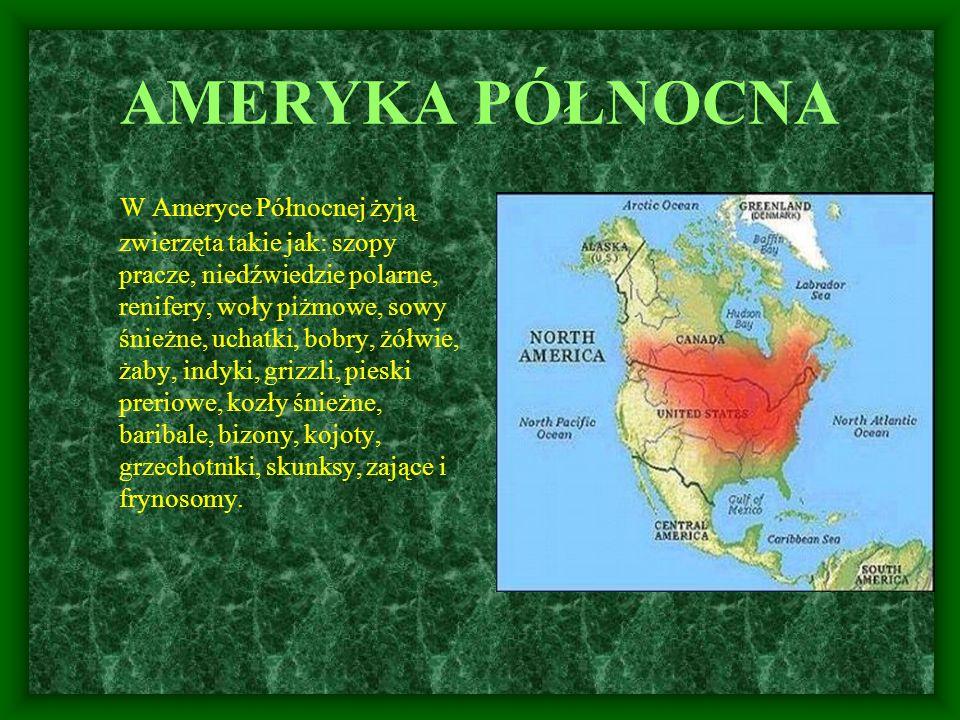 AMERYKA PÓŁNOCNA W Ameryce Północnej żyją zwierzęta takie jak: szopy pracze, niedźwiedzie polarne, renifery, woły piżmowe, sowy śnieżne, uchatki, bobr