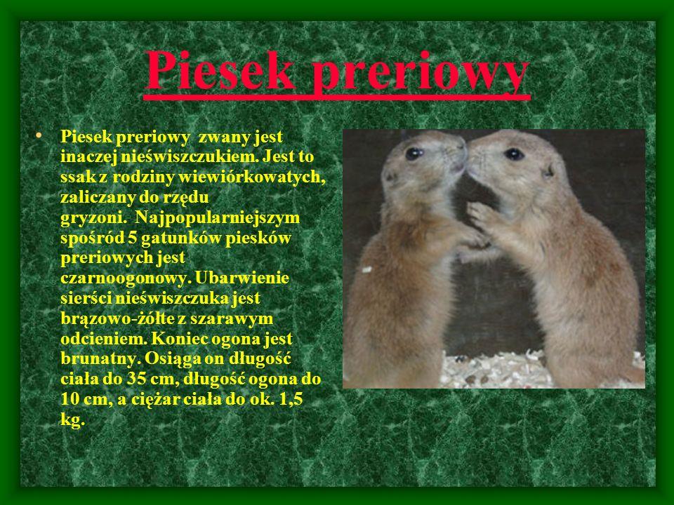Piesek preriowy Piesek preriowy zwany jest inaczej nieświszczukiem. Jest to ssak z rodziny wiewiórkowatych, zaliczany do rzędu gryzoni. Najpopularniej