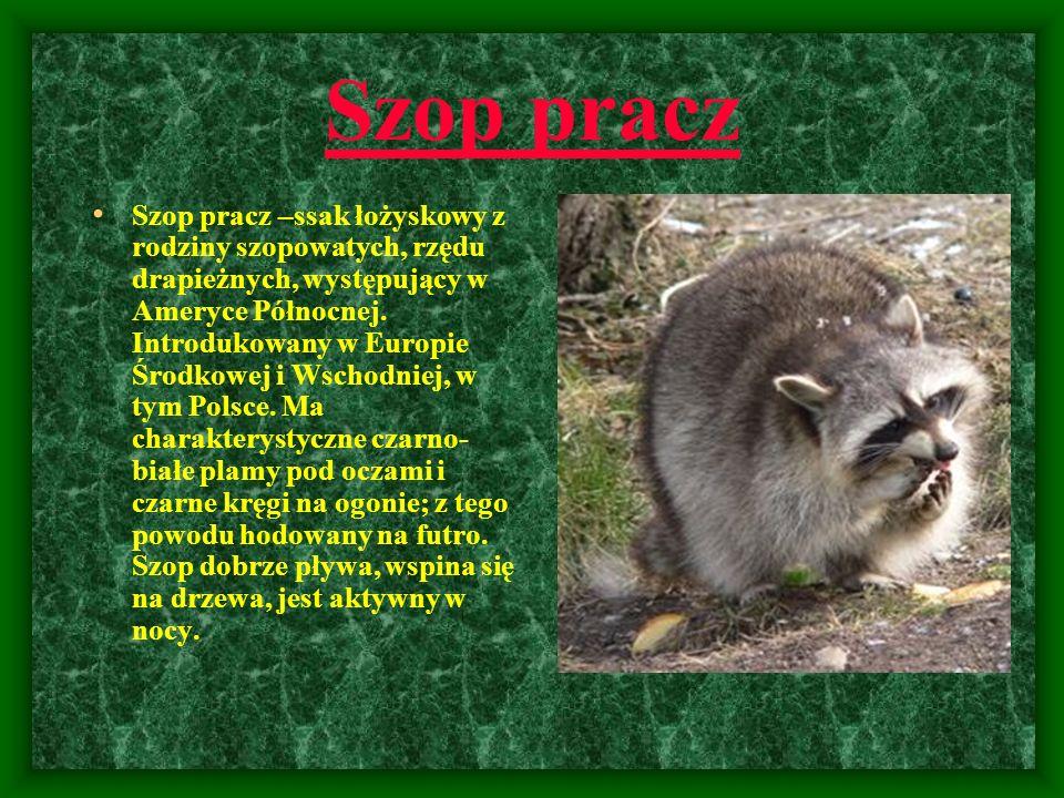 Szop pracz Szop pracz –ssak łożyskowy z rodziny szopowatych, rzędu drapieżnych, występujący w Ameryce Północnej. Introdukowany w Europie Środkowej i W