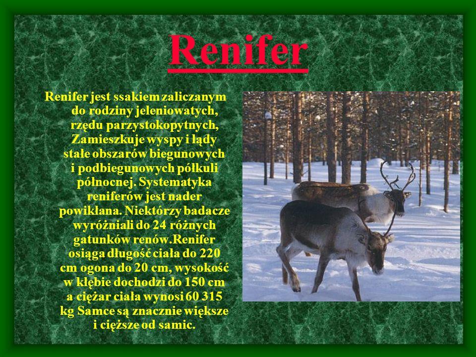 Renifer Renifer jest ssakiem zaliczanym do rodziny jeleniowatych, rzędu parzystokopytnych, Zamieszkuje wyspy i lądy stałe obszarów biegunowych i podbi