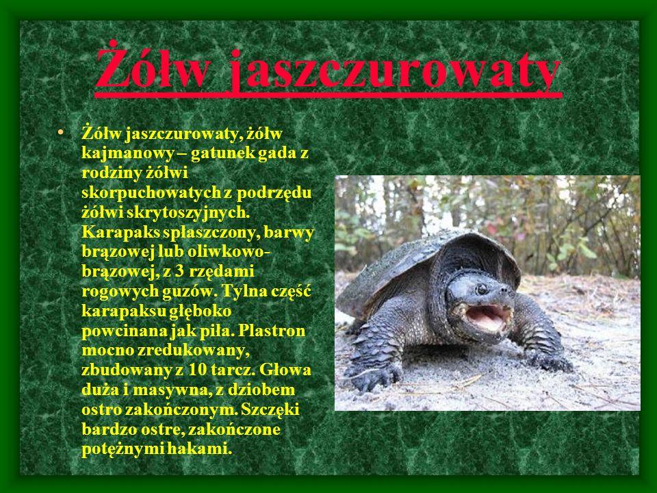 Żółw jaszczurowaty Żółw jaszczurowaty, żółw kajmanowy – gatunek gada z rodziny żółwi skorpuchowatych z podrzędu żółwi skrytoszyjnych. Karapaks spłaszc