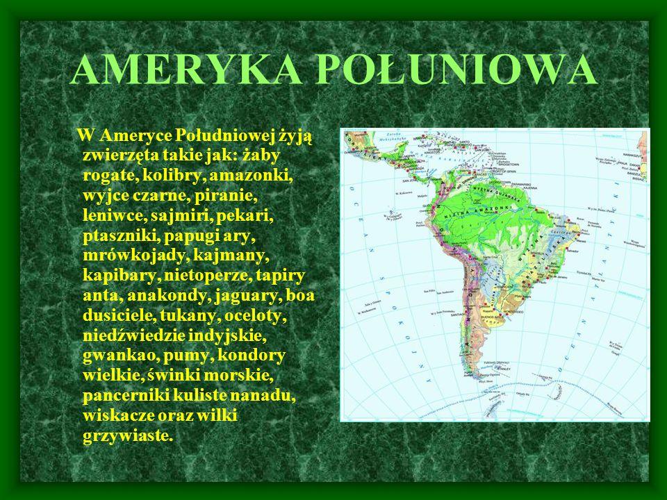AMERYKA POŁUNIOWA W Ameryce Południowej żyją zwierzęta takie jak: żaby rogate, kolibry, amazonki, wyjce czarne, piranie, leniwce, sajmiri, pekari, pta