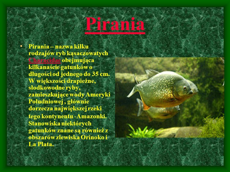 Pirania Pirania – nazwa kilku rodzajów ryb kąsaczowatych Characidae obejmująca kilkanaście gatunków o długości od jednego do 35 cm. W większości drapi