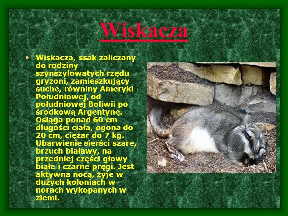 Wiskacza Wiskacza, ssak zaliczany do rodziny szynszylowatych rzędu gryzoni, zamieszkujący suche, równiny Ameryki Południowej, od południowej Boliwii p