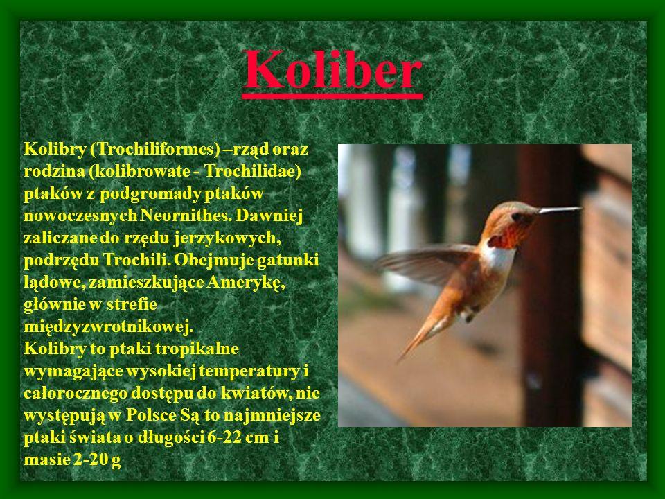 Koliber Kolibry (Trochiliformes) –rząd oraz rodzina (kolibrowate - Trochilidae) ptaków z podgromady ptaków nowoczesnych Neornithes. Dawniej zaliczane