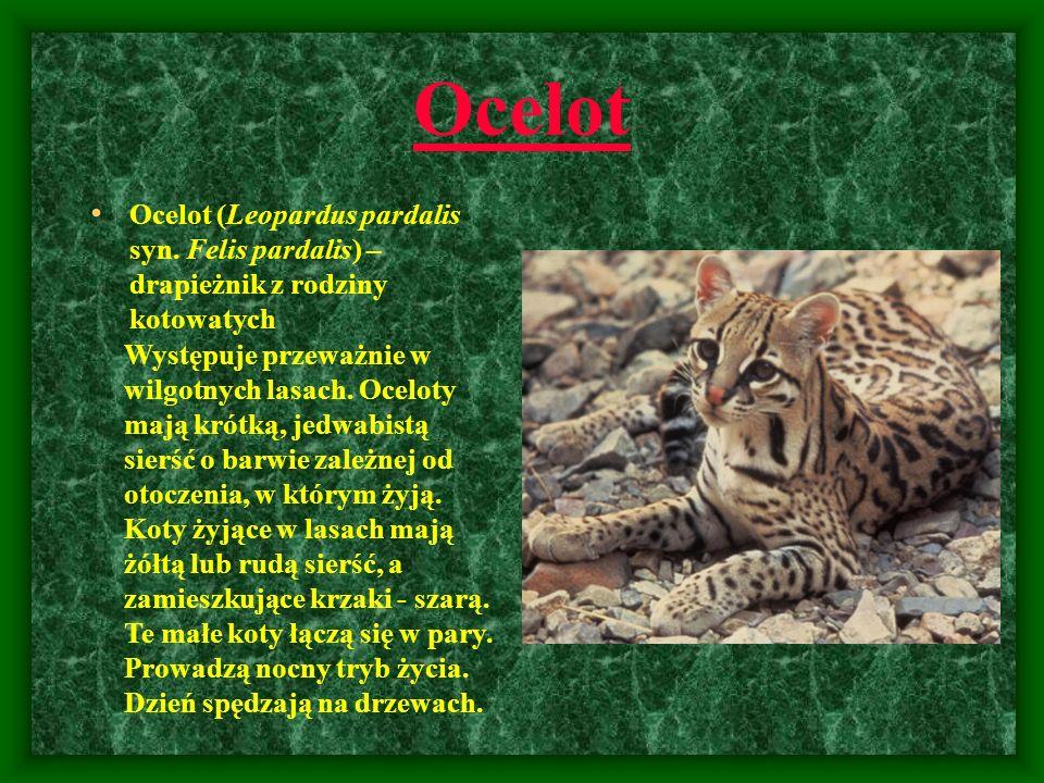 Ocelot Ocelot (Leopardus pardalis syn. Felis pardalis) – drapieżnik z rodziny kotowatych Występuje przeważnie w wilgotnych lasach. Oceloty mają krótką
