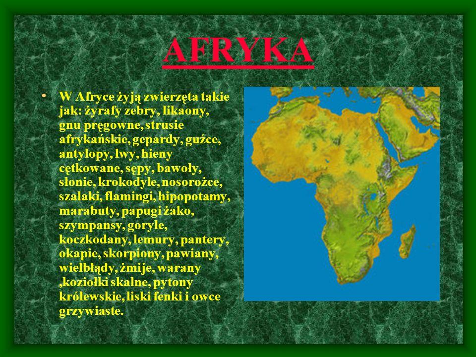 AFRYKA W Afryce żyją zwierzęta takie jak: żyrafy zebry, likaony, gnu pręgowne, strusie afrykańskie, gepardy, guźce, antylopy, lwy, hieny cętkowane, sę