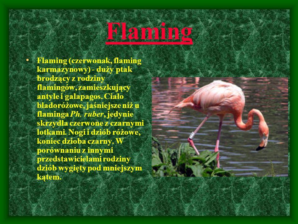 Flaming Flaming (czerwonak, flaming karmazynowy) - duży ptak brodzący z rodziny flamingów, zamieszkujący antyle i galapagos. Ciało bladoróżowe, jaśnie