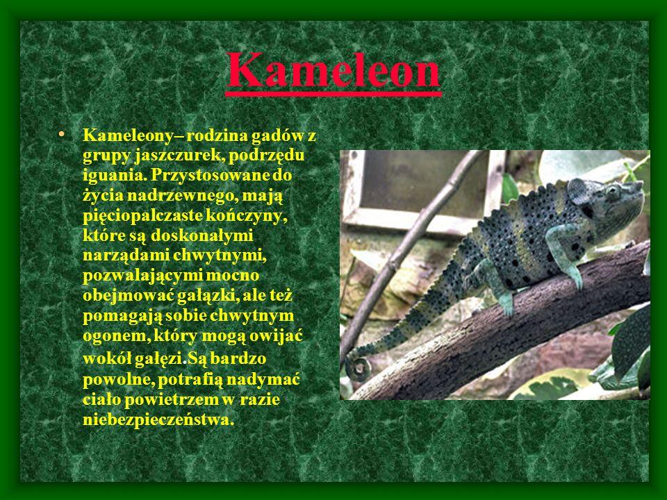 Kameleon Kameleony– rodzina gadów z grupy jaszczurek, podrzędu iguania. Przystosowane do życia nadrzewnego, mają pięciopalczaste kończyny, które są do