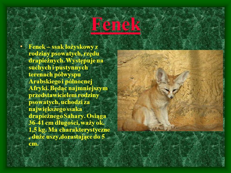 Fenek Fenek – ssak łożyskowy z rodziny psowatych, rzędu drapieżnych. Występuje na suchych i pustynnych terenach półwyspu Arabskiego i północnej Afryki