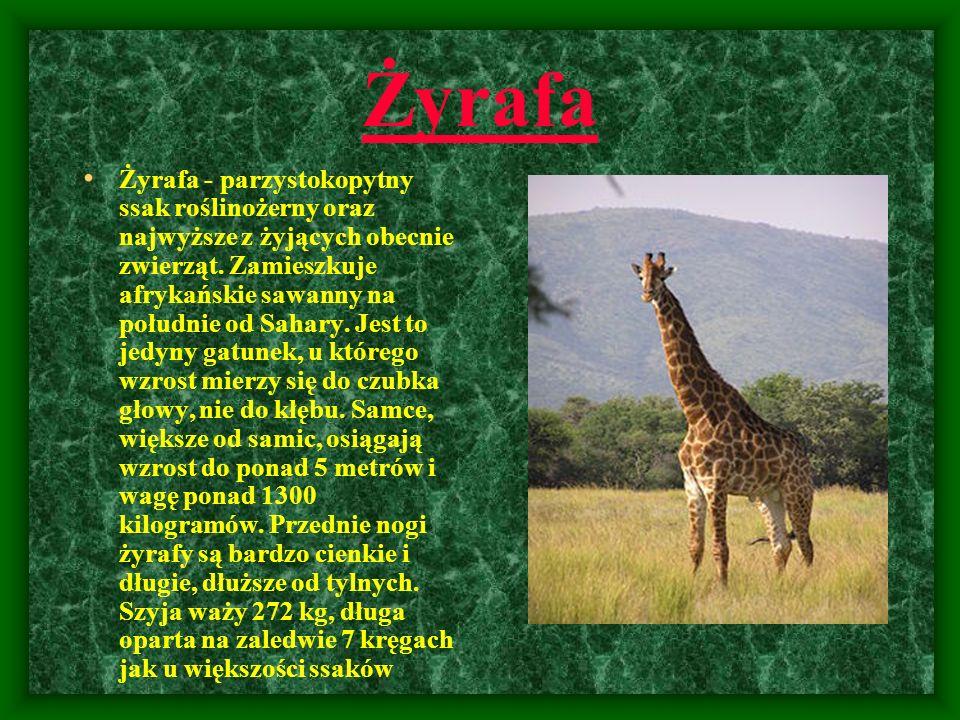 Żyrafa Żyrafa - parzystokopytny ssak roślinożerny oraz najwyższe z żyjących obecnie zwierząt. Zamieszkuje afrykańskie sawanny na południe od Sahary. J