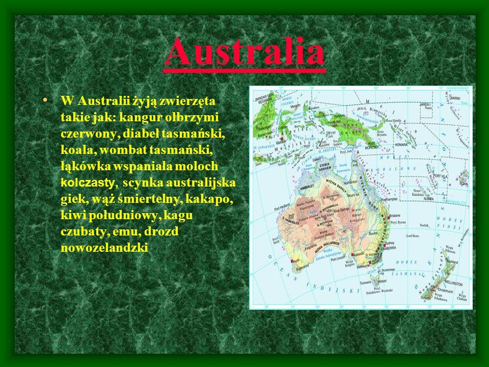 Australia W Australii żyją zwierzęta takie jak: kangur olbrzymi czerwony, diabeł tasmański, koala, wombat tasmański, łąkówka wspaniała moloch kolczast