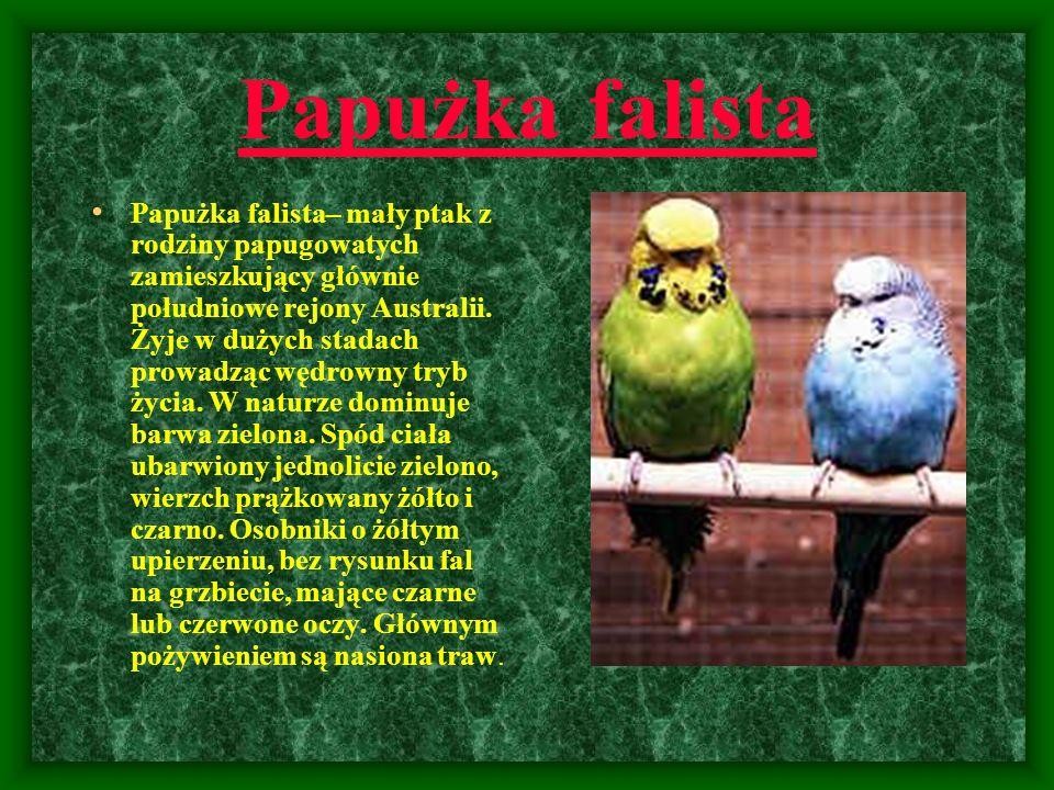 Papużka falista Papużka falista– mały ptak z rodziny papugowatych zamieszkujący głównie południowe rejony Australii. Żyje w dużych stadach prowadząc w