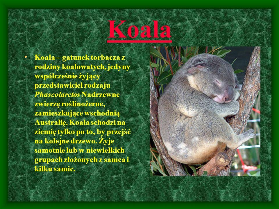 Koala Koala – gatunek torbacza z rodziny koalowatych, jedyny współcześnie żyjący przedstawiciel rodzaju Phascolarctos Nadrzewne zwierzę roślinożerne,