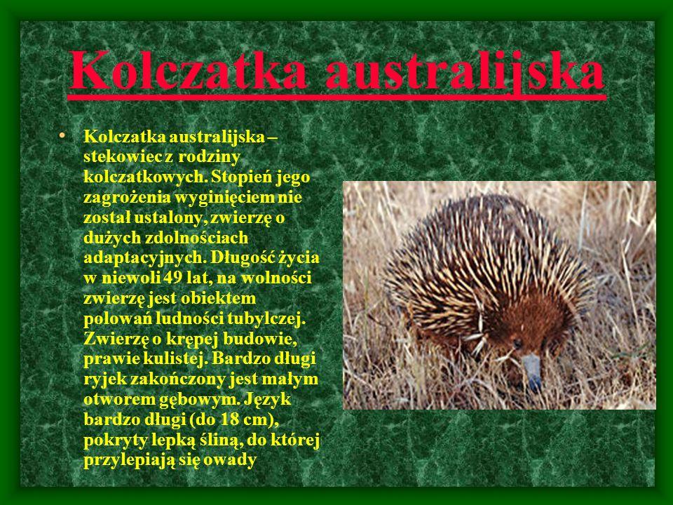 Kolczatka australijska Kolczatka australijska – stekowiec z rodziny kolczatkowych. Stopień jego zagrożenia wyginięciem nie został ustalony, zwierzę o