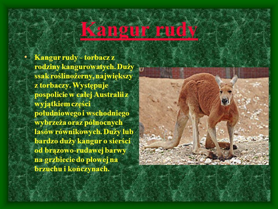 Kangur rudy Kangur rudy - torbacz z rodziny kangurowatych. Duży ssak roślinożerny, największy z torbaczy. Występuje pospolicie w całej Australii z wyj