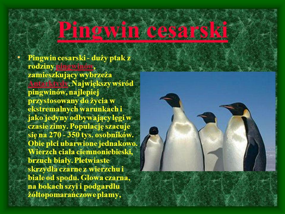 Pingwin cesarski Pingwin cesarski - duży ptak z rodziny pingwinów, zamieszkujący wybrzeża Antarktydy. Największy wśród pingwinów, najlepiej przystosow