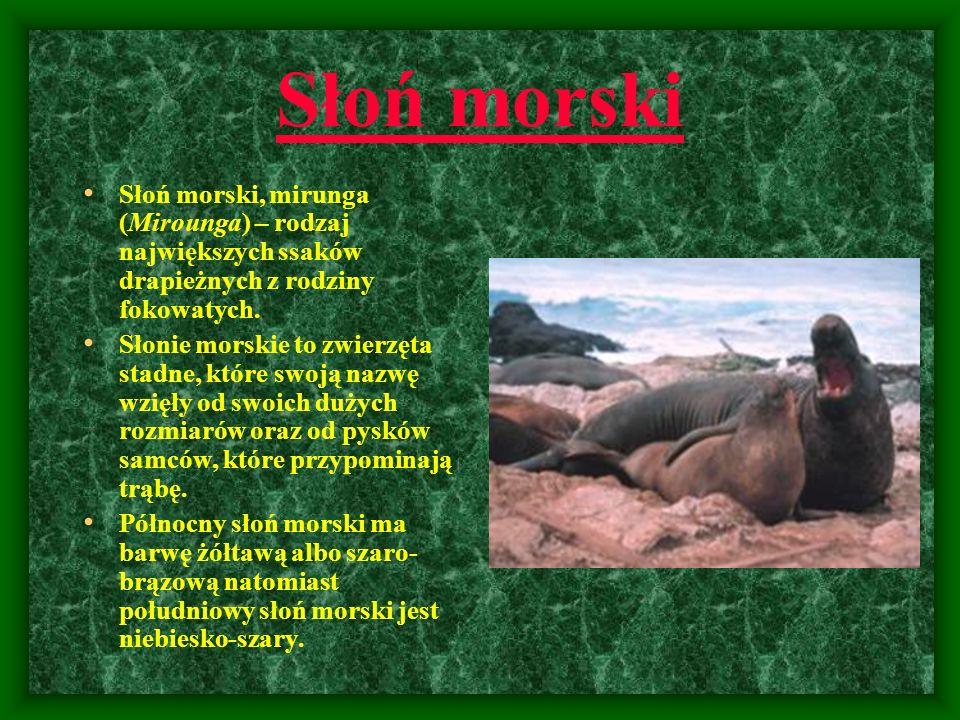 Słoń morski Słoń morski, mirunga (Mirounga) – rodzaj największych ssaków drapieżnych z rodziny fokowatych. Słonie morskie to zwierzęta stadne, które s