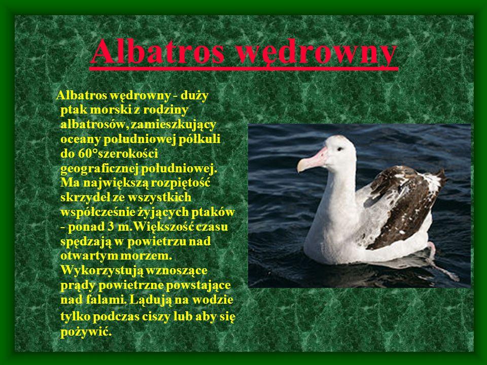 Albatros wędrowny Albatros wędrowny - duży ptak morski z rodziny albatrosów, zamieszkujący oceany południowej półkuli do 60°szerokości geograficznej p