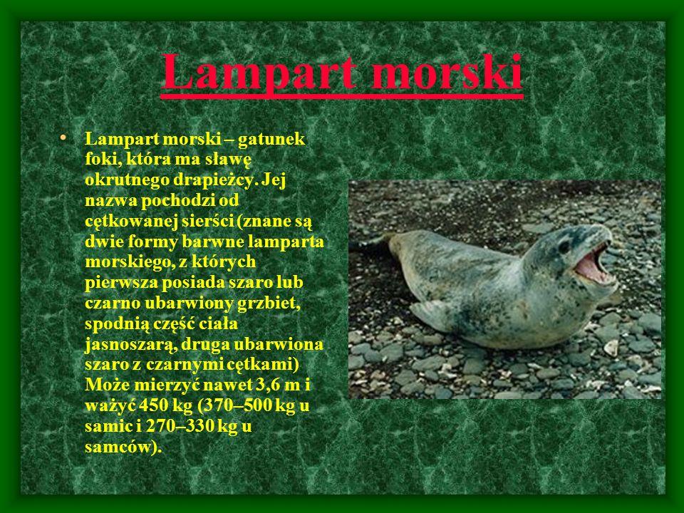 Lampart morski Lampart morski – gatunek foki, która ma sławę okrutnego drapieżcy. Jej nazwa pochodzi od cętkowanej sierści (znane są dwie formy barwne