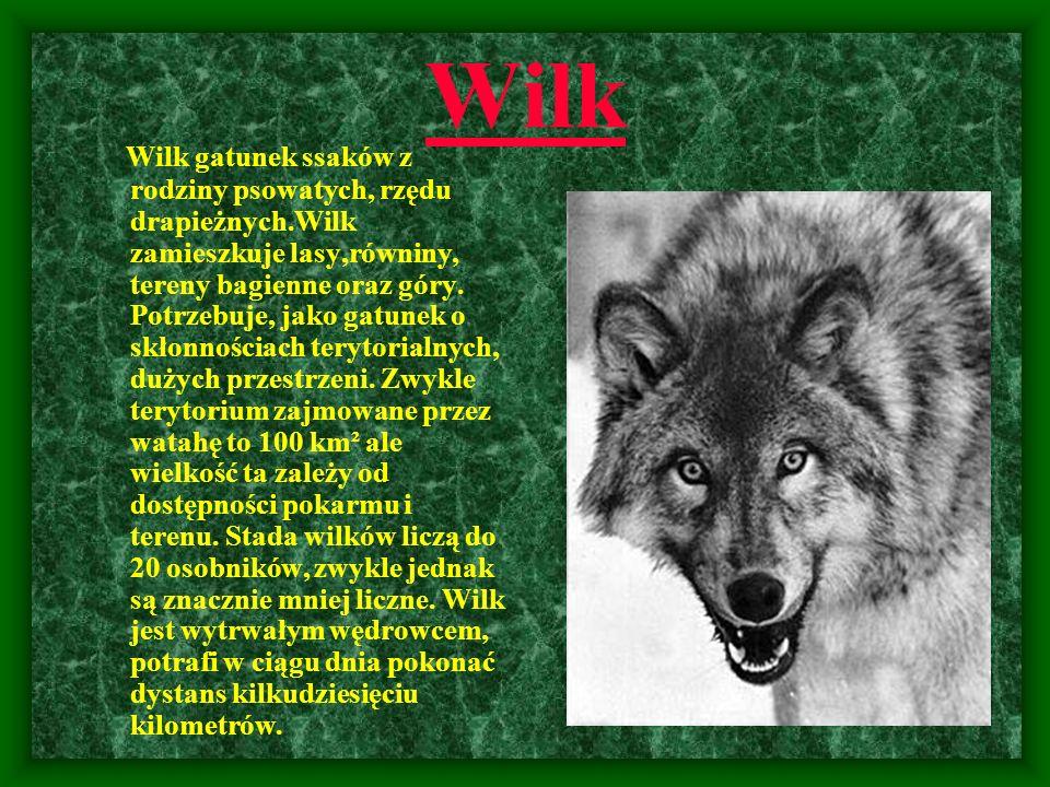 Wilk Wilk gatunek ssaków z rodziny psowatych, rzędu drapieżnych.Wilk zamieszkuje lasy,równiny, tereny bagienne oraz góry. Potrzebuje, jako gatunek o s