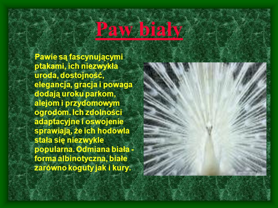 Paw biały Pawie są fascynującymi ptakami, ich niezwykła uroda, dostojność, elegancja, gracja i powaga dodają uroku parkom, alejom i przydomowym ogrodo