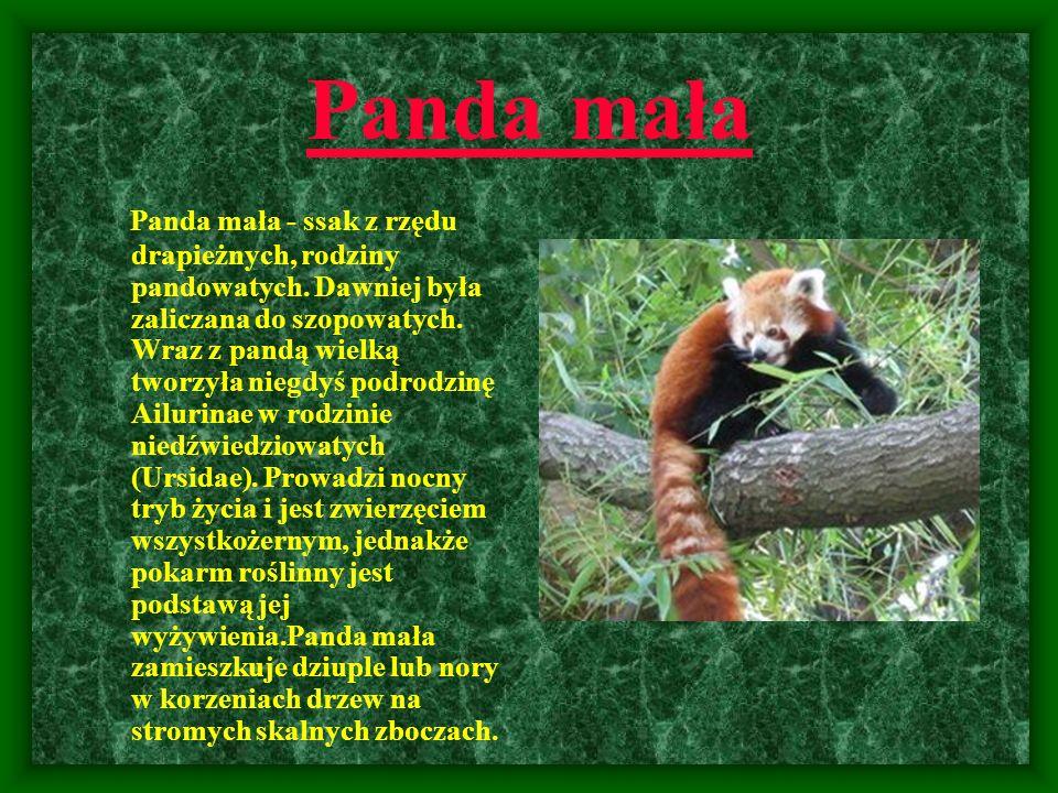 Panda mała Panda mała - ssak z rzędu drapieżnych, rodziny pandowatych. Dawniej była zaliczana do szopowatych. Wraz z pandą wielką tworzyła niegdyś pod