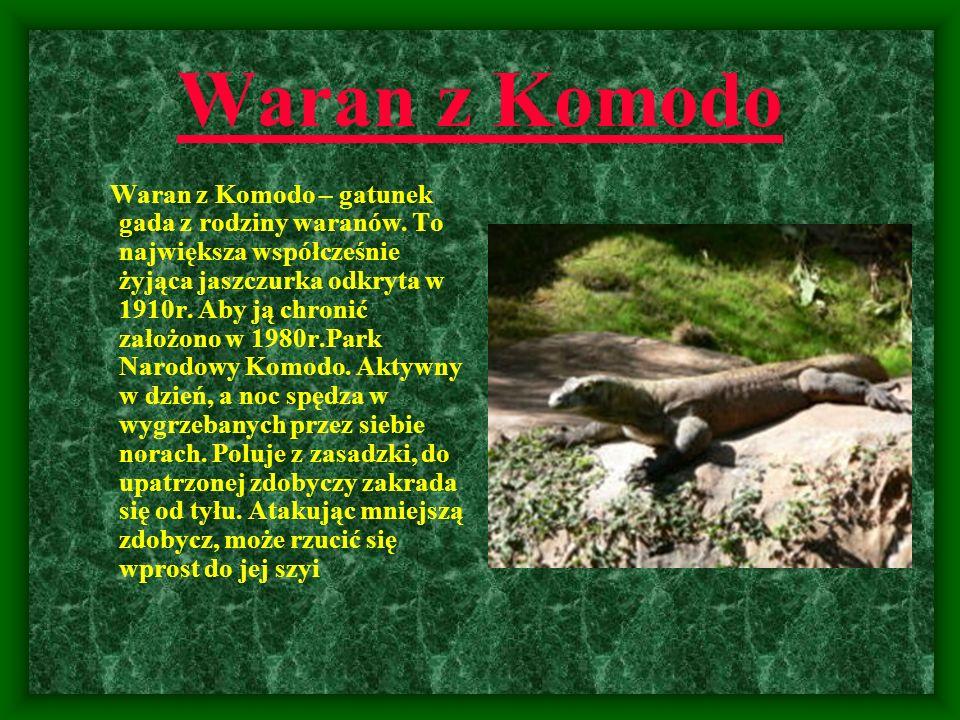 Waran z Komodo Waran z Komodo – gatunek gada z rodziny waranów. To największa współcześnie żyjąca jaszczurka odkryta w 1910r. Aby ją chronić założono