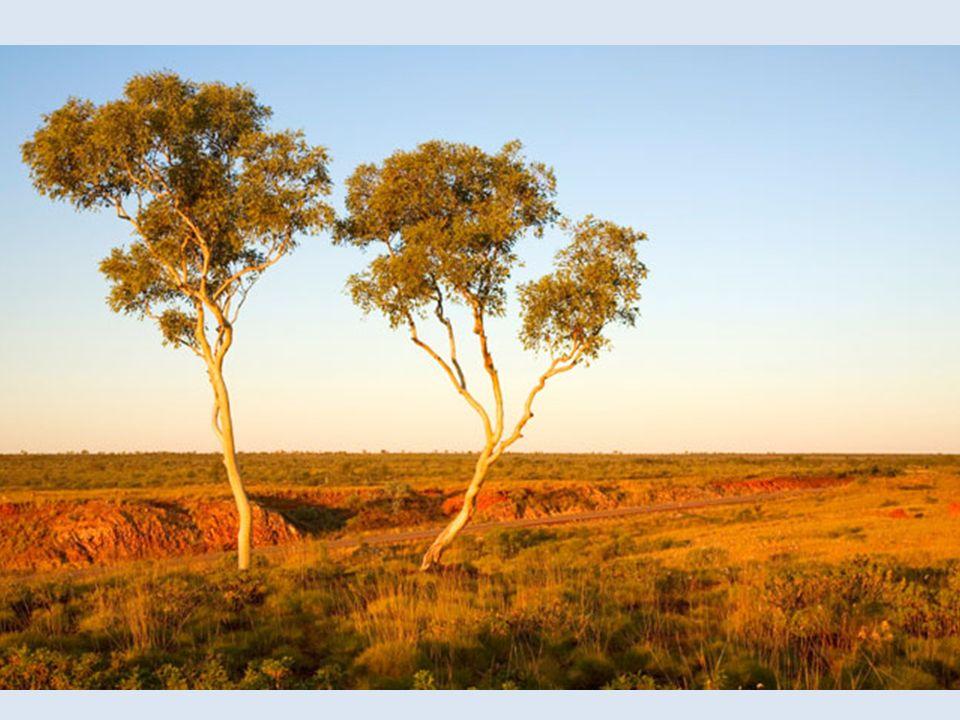 Swainsona formosa, Sturt s Desert Pea,
