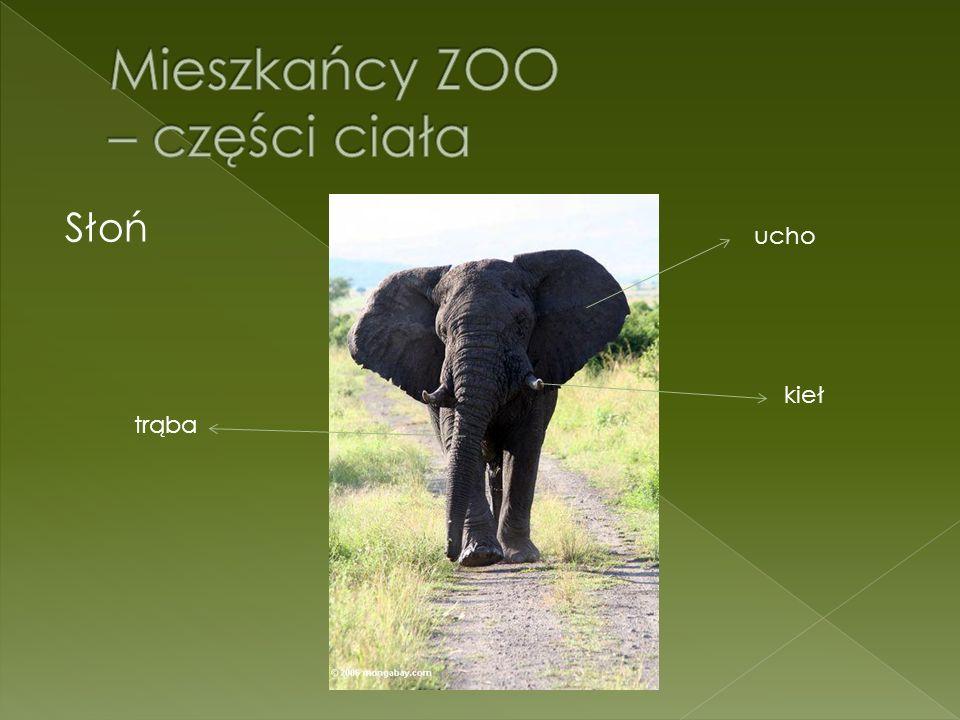Słoń ucho kieł trąba
