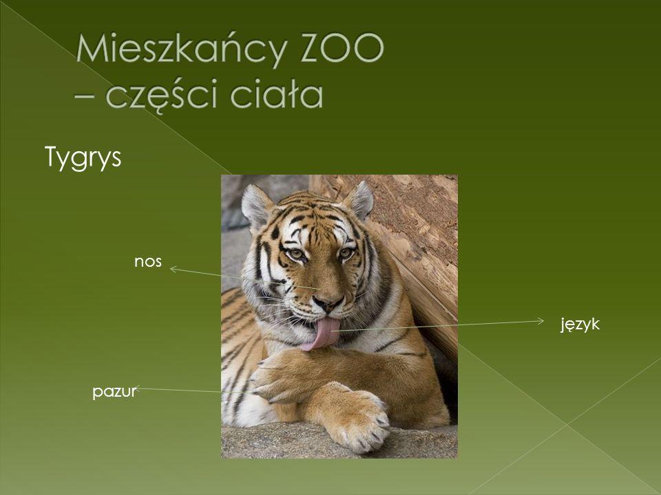 Tygrys pazur nos język