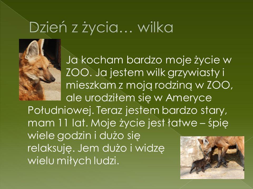Ja kocham bardzo moje życie w ZOO. Ja jestem wilk grzywiasty i mieszkam z moją rodziną w ZOO, ale urodziłem się w Ameryce Południowej. Teraz jestem ba