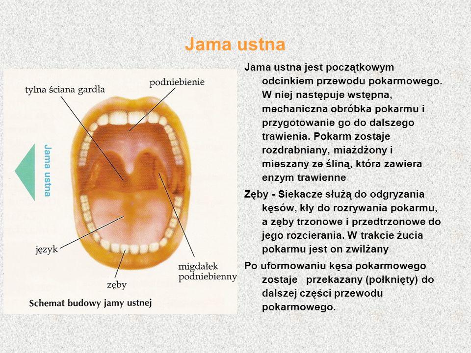 Jama ustna Jama ustna jest początkowym odcinkiem przewodu pokarmowego.