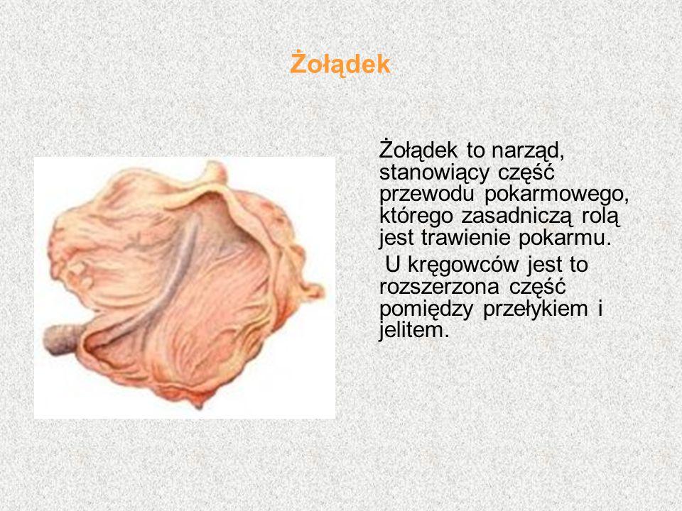Żołądek Żołądek to narząd, stanowiący część przewodu pokarmowego, którego zasadniczą rolą jest trawienie pokarmu. U kręgowców jest to rozszerzona częś