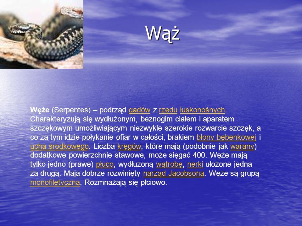 Wąż Wąż Węże (Serpentes) – podrząd gadów z rzędu łuskonośnych. Charakteryzują się wydłużonym, beznogim ciałem i aparatem szczękowym umożliwiającym nie