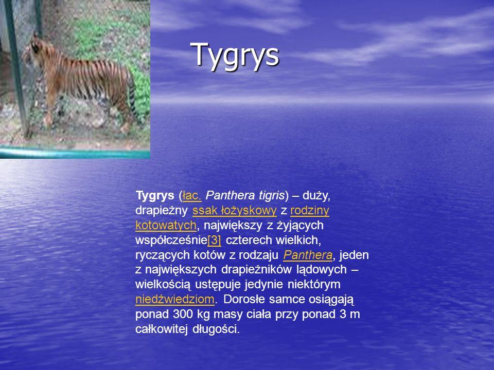 Tygrys Tygrys Tygrys (łac. Panthera tigris) – duży, drapieżny ssak łożyskowy z rodziny kotowatych, największy z żyjących współcześnie[3] czterech wiel