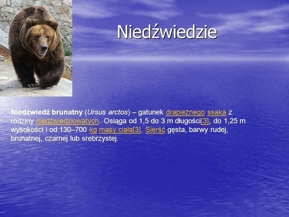 Niedźwiedzie Niedźwiedzie Niedźwiedź brunatny (Ursus arctos) – gatunek drapieżnego ssaka z rodziny niedźwiedziowatych. Osiąga od 1,5 do 3 m długości[3