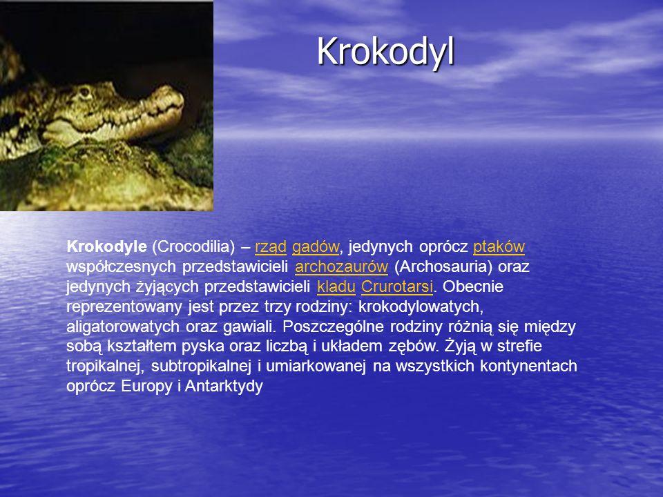 Krokodyl Krokodyl Krokodyle (Crocodilia) – rząd gadów, jedynych oprócz ptaków współczesnych przedstawicieli archozaurów (Archosauria) oraz jedynych ży