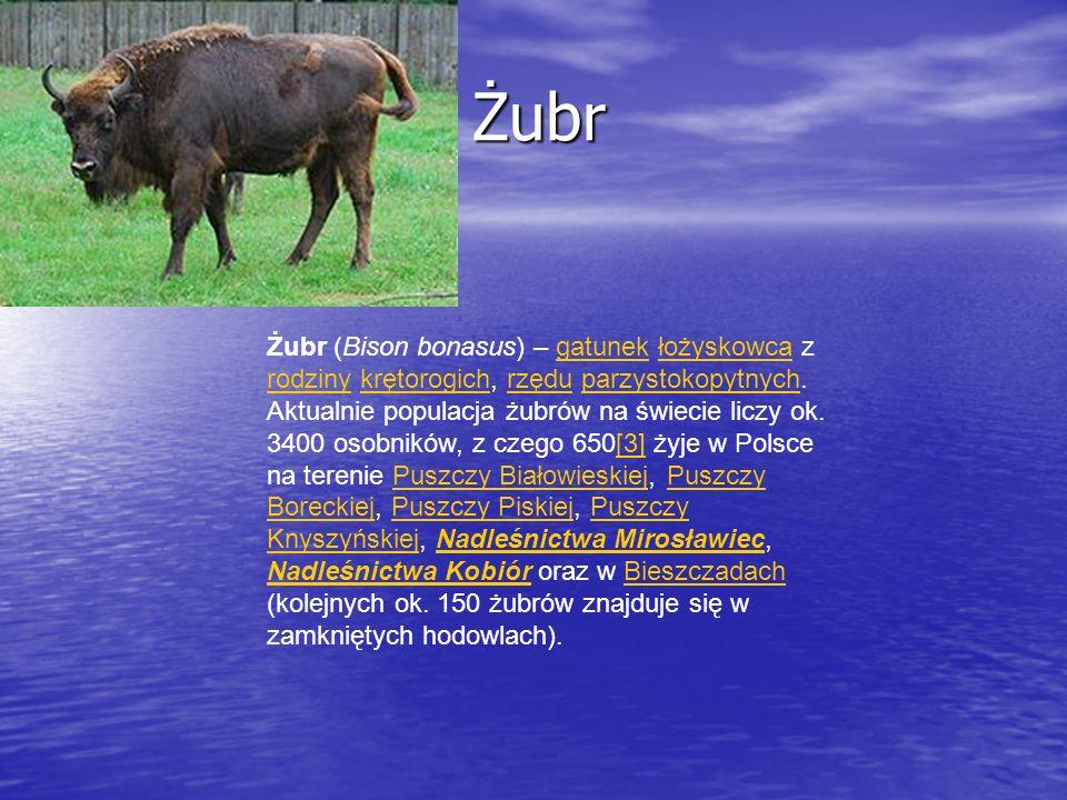 Żubr Żubr Żubr (Bison bonasus) – gatunek łożyskowca z rodziny krętorogich, rzędu parzystokopytnych. Aktualnie populacja żubrów na świecie liczy ok. 34