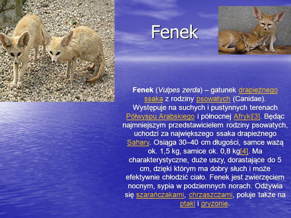 Fenek Fenek Fenek (Vulpes zerda) – gatunek drapieżnego ssaka z rodziny psowatych (Canidae).drapieżnego ssakapsowatych Występuje na suchych i pustynnyc