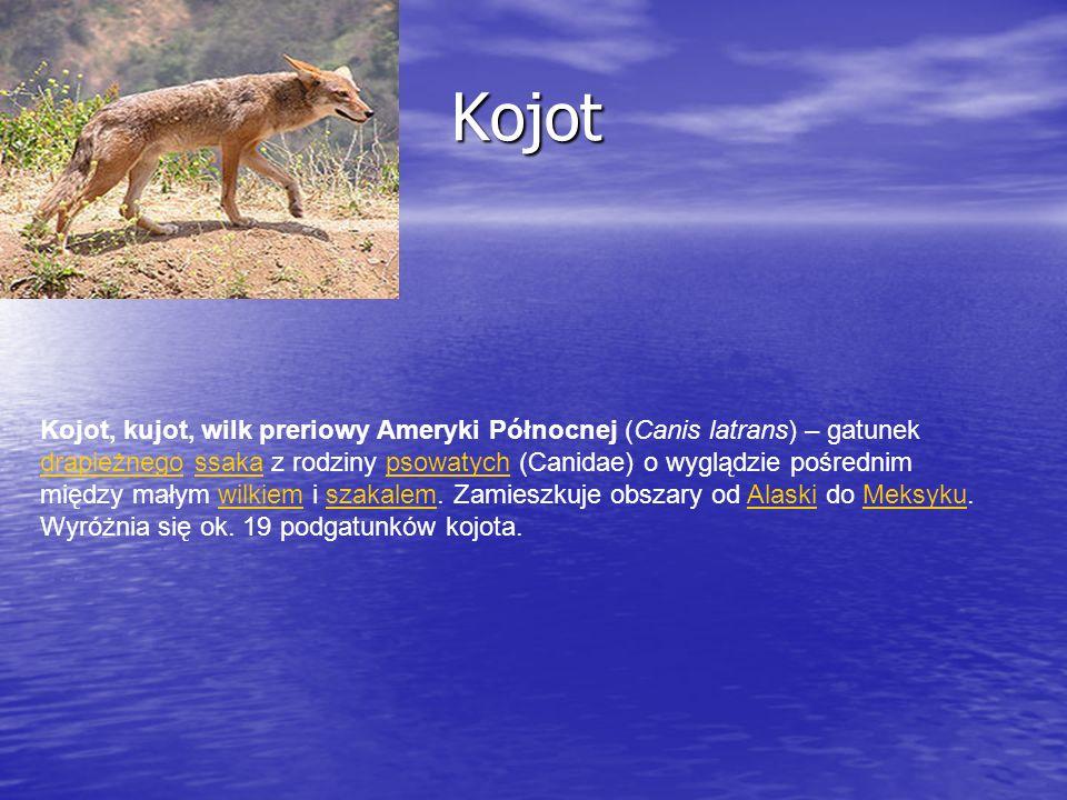 Kojot Kojot Kojot, kujot, wilk preriowy Ameryki Północnej (Canis latrans) – gatunek drapieżnego ssaka z rodziny psowatych (Canidae) o wyglądzie pośred