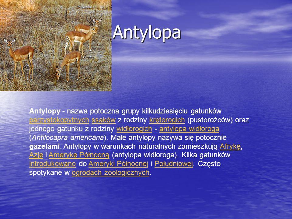 Antylopa Antylopa Antylopy - nazwa potoczna grupy kilkudziesięciu gatunków parzystokopytnych ssaków z rodziny krętorogich (pustorożców) oraz jednego g