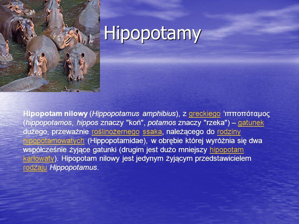 Hipopotamy Hipopotamy Hipopotam nilowy (Hippopotamus amphibius), z greckiego ιπποπόταμος (hippopotamos, hippos znaczy