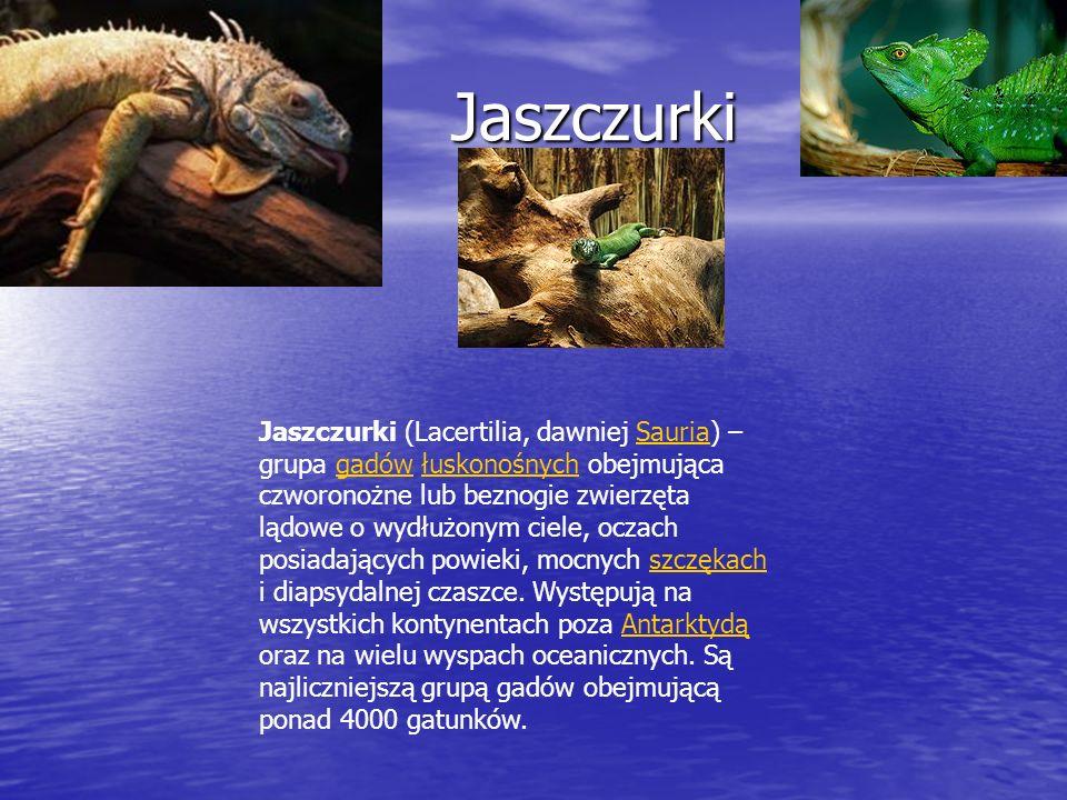 Jaszczurki Jaszczurki Jaszczurki (Lacertilia, dawniej Sauria) – grupa gadów łuskonośnych obejmująca czworonożne lub beznogie zwierzęta lądowe o wydłuż