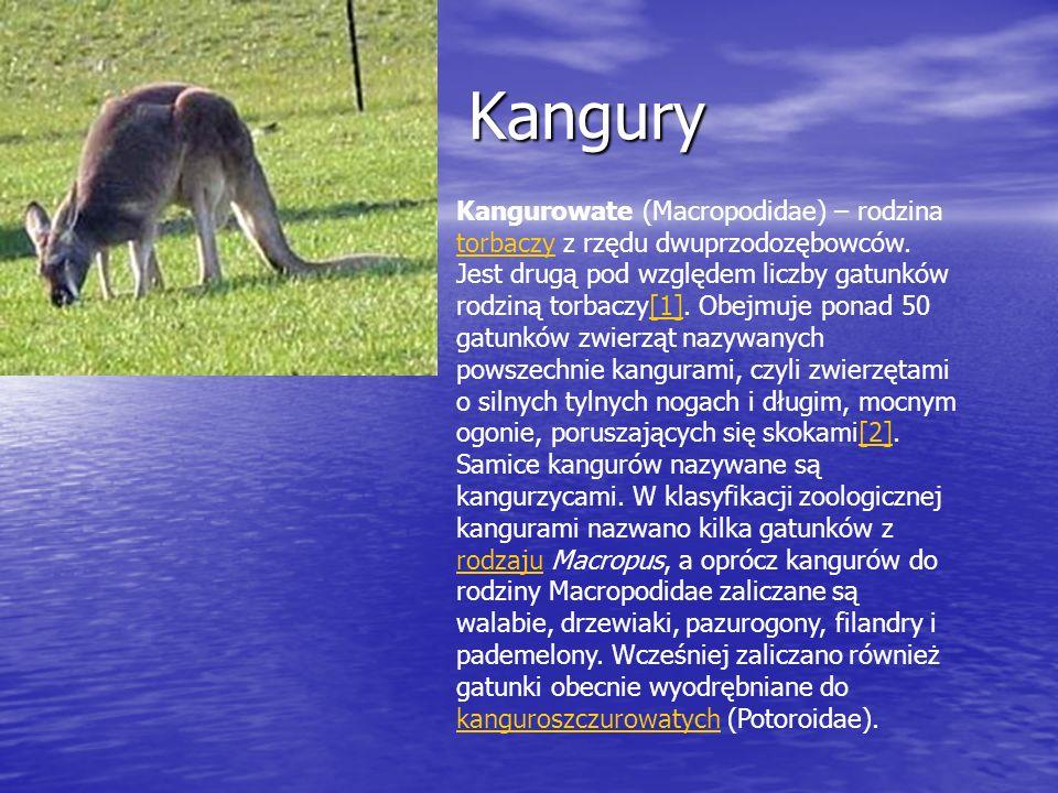 Kangury Kangury Kangurowate (Macropodidae) – rodzina torbaczy z rzędu dwuprzodozębowców. Jest drugą pod względem liczby gatunków rodziną torbaczy[1].