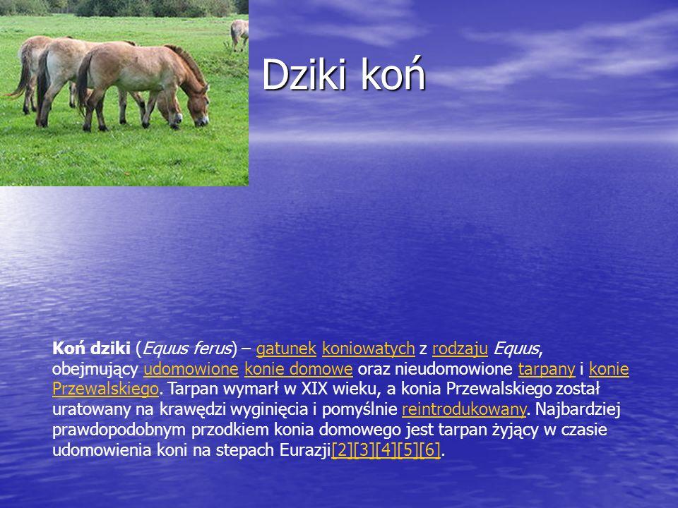 Dziki koń Dziki koń Koń dziki (Equus ferus) – gatunek koniowatych z rodzaju Equus, obejmujący udomowione konie domowe oraz nieudomowione tarpany i kon