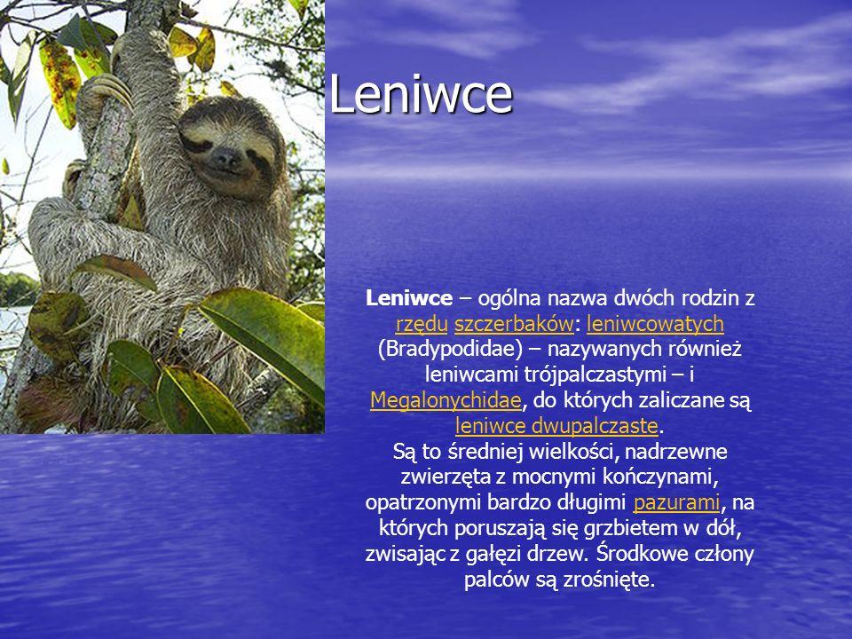 Leniwce Leniwce Leniwce – ogólna nazwa dwóch rodzin z rzędu szczerbaków: leniwcowatych (Bradypodidae) – nazywanych również leniwcami trójpalczastymi –